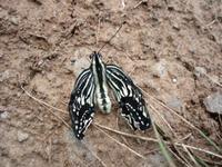 S0727swallowtail